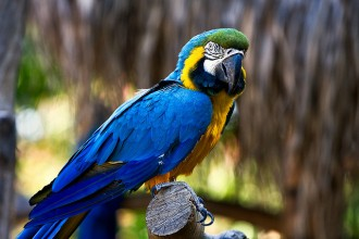 Throated Macaw , 7 Awesome Blue Throated Macaw In Birds Category