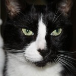 tuxedo cat , 7 Gorgeous Tuxedo Cat Pictures In Cat Category