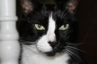 Tuxedo Cat , 7 Gorgeous Tuxedo Cat Pictures In Cat Category