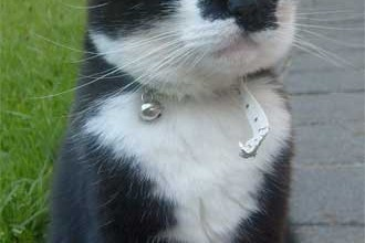 Tuxedo Cat Moustache , 6 Charming Pictures Of Tuxedo Cats In Cat Category