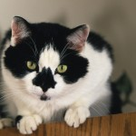 tuxedo cats , 7 Gorgeous Tuxedo Cat Pictures In Cat Category