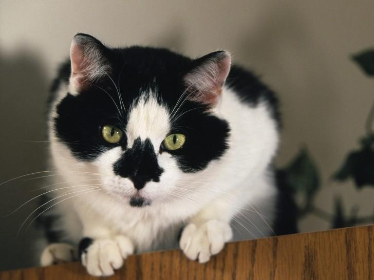 Cat , 7 Gorgeous Tuxedo Cat Pictures : Tuxedo Cats