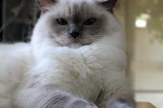 White Ragdoll Cat , 6 Wonderful Pictures Of Ragdoll Cats In Cat Category