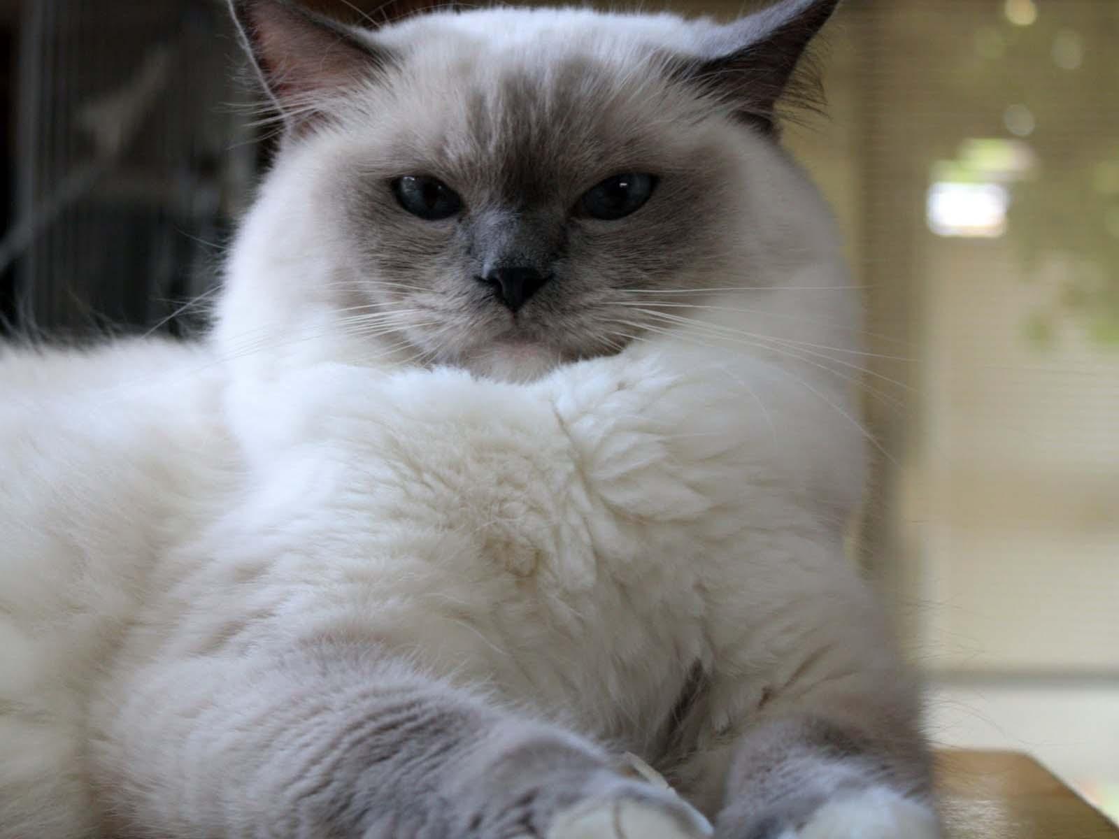 White Ragdoll Cat 6 Wonderful Ragdoll Cats