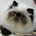 white himalayan cat , 7 Charming Himalayan Cat Pictures In Cat Category