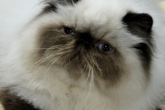 white himalayan cat in Cell