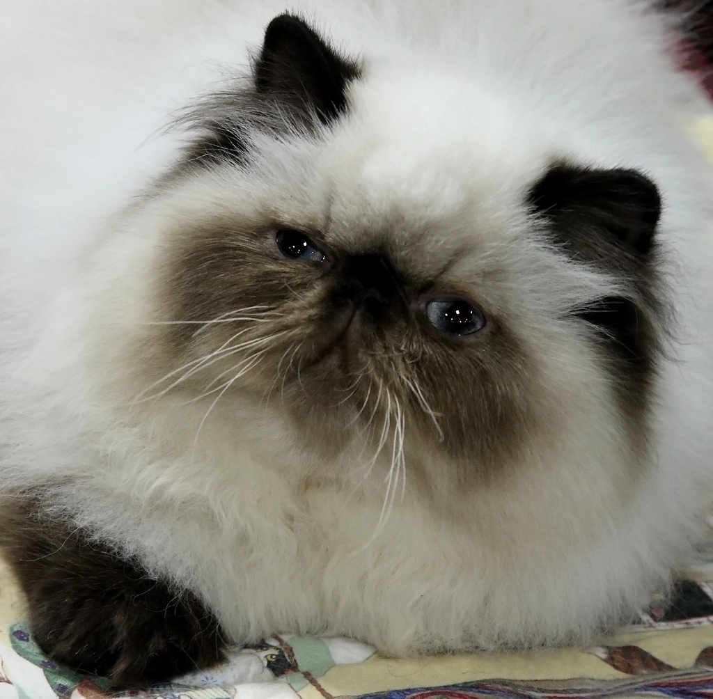 white himalayan cat