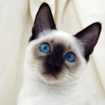 white siamese cats , 7 Nice Siamese Cats Pictures In Cat Category