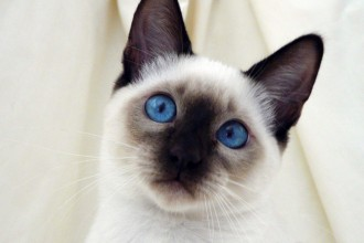 white siamese cats in Cat