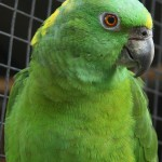 yellow naped amazon , 6 Wonderful Yellow Naped Amazon Parrot In Birds Category