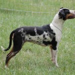 yorkshire terrier , 7 Gorgeous Catahoula Dog Pictures In Dog Category