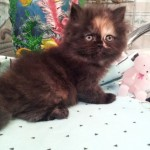 Female Persian , 6 Charming Persian Cat Names Female In Cat Category