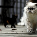 About Persian Cats , 7 Charming Facts About Persian Cats In Cat Category