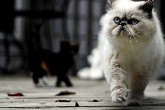 About Persian Cats in Butterfly