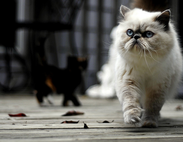 About Persian Cats