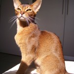 Abyssinian cats , 7 Nice Persian Cat Life Expectancy In Cat Category