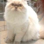 Adopted Cats , 9 Cute Persian Himalayan Cat Rescue In Cat Category