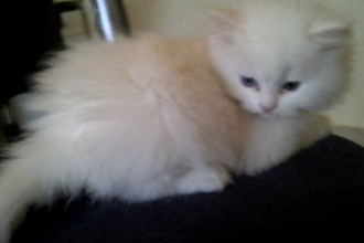 Adorable Persian Kittens  , 7 Cute Mini Persian Cats For Sale In Cat Category