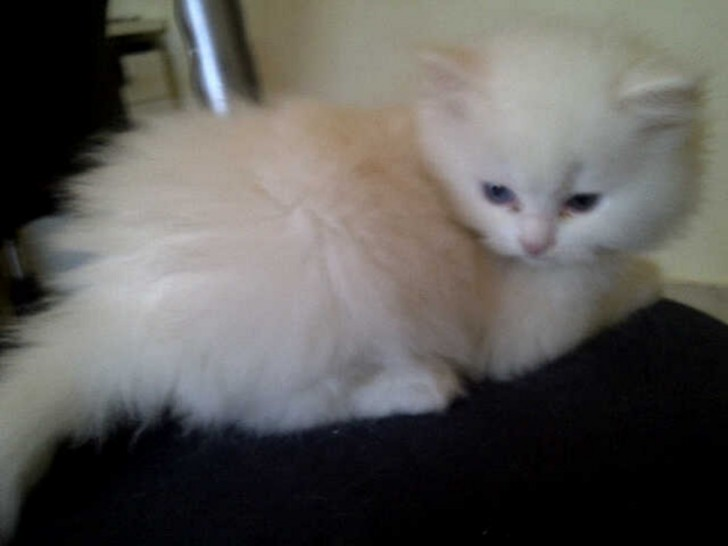 Cat , 6 Lovely Miniature Persian Cats For Sale : Adorable Persian Kittens For Sale