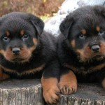 Adorable Rottweiler Puppies  , 6 Cool Rockwilder Puppies For Sale In Dog Category
