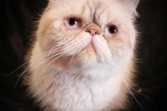 Adult Exotic Shorthair , 8 Fabulous Shorthair Persian Cat In Cat Category
