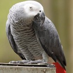 African Grey , 8 Nice African Grey Parrot Price In Birds Category