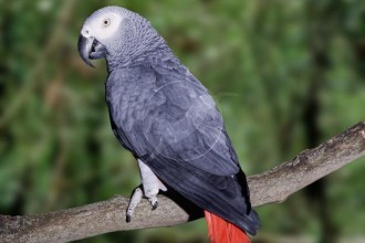 African Grey Parrot in Butterfly