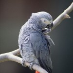 African Grey Parrot Psittacus Erithacus , 8 Nice African Grey Parrot Price In Birds Category