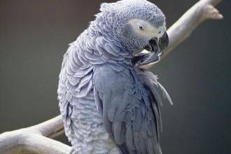 African Grey Parrot Psittacus Erithacus , 8 Nice African Grey Parrot Price In Birds Category