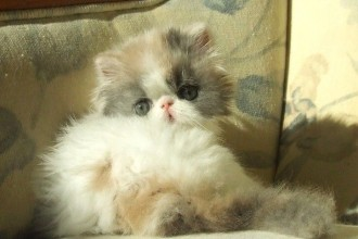 Alfenloch Himalayan , 7 Charming Persian Himalayan Cat In Cat Category