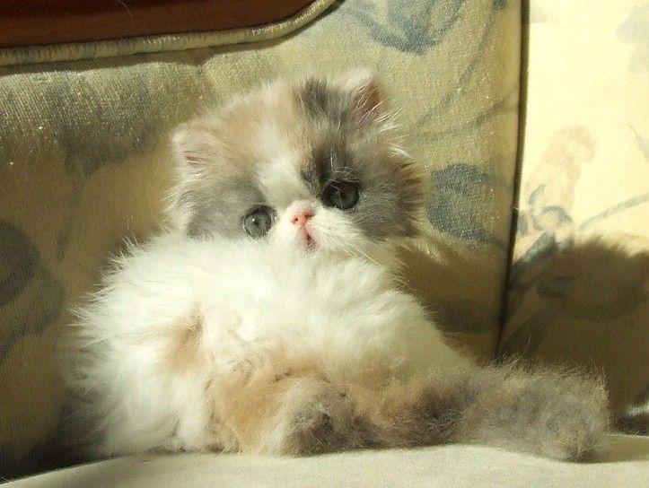 Cat , 7 Charming Persian Himalayan Cat : Alfenloch Himalayan