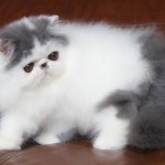 Alfenloch Himalayan , 7 Charming Himalayan Persian Cat In Cat Category