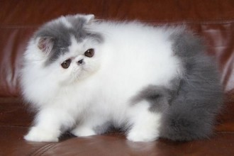 Alfenloch Himalayan in Cat