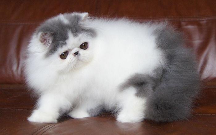 Cat , 7 Charming Himalayan Persian Cat : Alfenloch Himalayan
