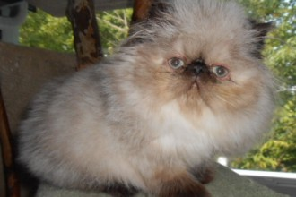 American Cats For Sale , 9 Charming Persian Cat Rescue San Diego In Cat Category