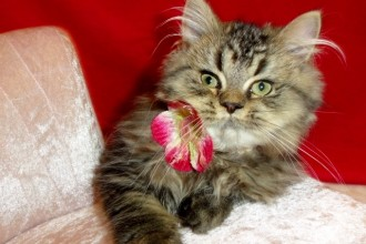 BABY DOLL PERSIAN KITTENS in Plants