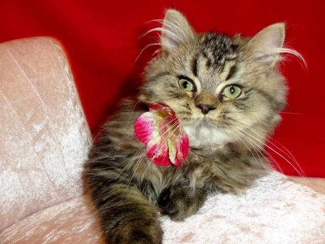 Cat , 5 Charming Persian Cats For Sale In Miami : BABY DOLL PERSIAN KITTENS