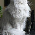 Baby Kitty , 7 Cool Persian Cat Characteristics In Cat Category