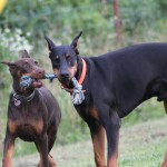 Baptist Ridge Dobermans , 8 Cool Warlock Doberman Puppies For Sale In Dog Category