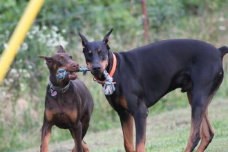 Baptist Ridge Dobermans in Forest
