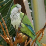 Bird spix , 7 Beautiful Monk Parrots In Birds Category