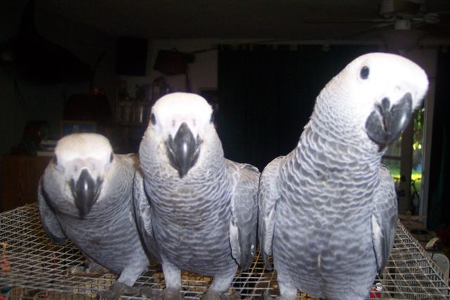 Birds , 8 Nice African Grey Parrot Price : Birds