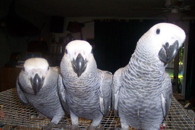 Birds , 8 Nice African Grey Parrot Price : Birds