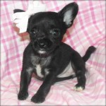 Black Chihuahua Puppies Pictures , 8 Cute Chiuaua Puppies For Sale In Pa In Dog Category