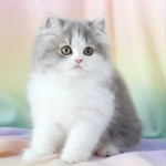 Blue Chinchilla Golden , 9 Fabulous Persian Cats Breeders In Cat Category