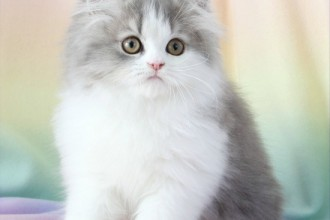 Blue Chinchilla Golden , 9 Fabulous Persian Cats Breeders In Cat Category