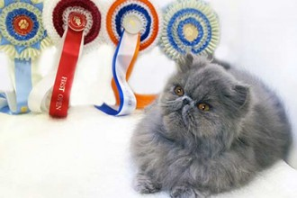 Blue Eye Persian Cats , 9 Cool How Much Do Persian Cats Cost In Cat Category