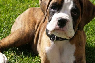 Boxer Puppies Pictures in Plants