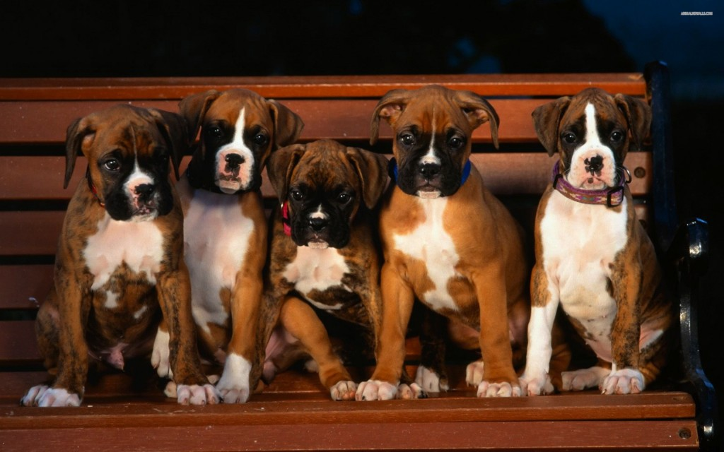 Boxer puppies wallpaper