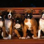 Boxer puppies wallpaper , 9 Amazing Boxer Puppies Spokane Wa In Dog Category